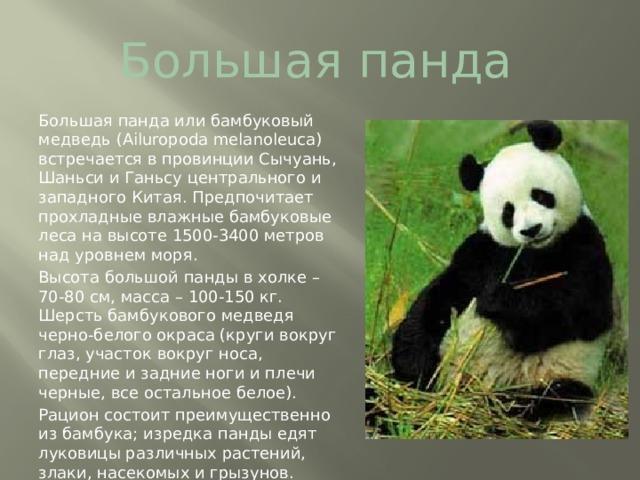 Большая панда Большая панда или бамбуковый медведь (Ailuropodamelanoleuca) встречается в провинции Сычуань, Шаньси и Ганьсу центрального и западного Китая. Предпочитает прохладные влажные бамбуковые леса на высоте 1500-3400 метров над уровнем моря. Высота большой панды в холке – 70-80 см, масса – 100-150 кг. Шерсть бамбукового медведя черно-белого окраса (круги вокруг глаз, участок вокруг носа, передние и задние ноги и плечи черные, все остальное белое). Рацион состоит преимущественно из бамбука; изредка панды едят луковицы различных растений, злаки, насекомых и грызунов.