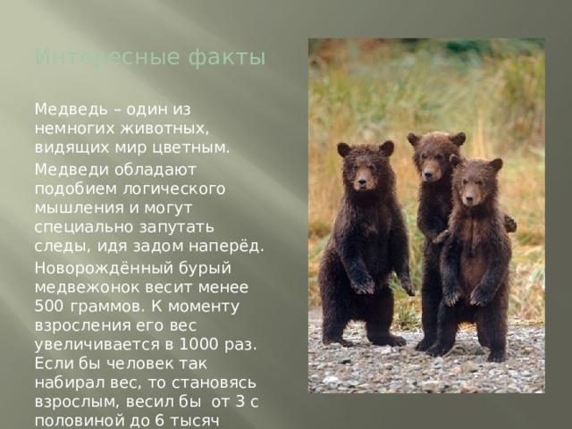 Интересные факты Медведь – один из немногих животных, видящих мир цветным. Медведи обладают подобием логического мышления и могут специально запутать следы, идя задом наперёд. Новорождённый бурый медвежонок весит менее 500 граммов. К моменту взросления его вес увеличивается в 1000 раз. Если бы человек так набирал вес, то становясь взрослым, весил бы от 3 с половиной до 6 тысяч килограммов.