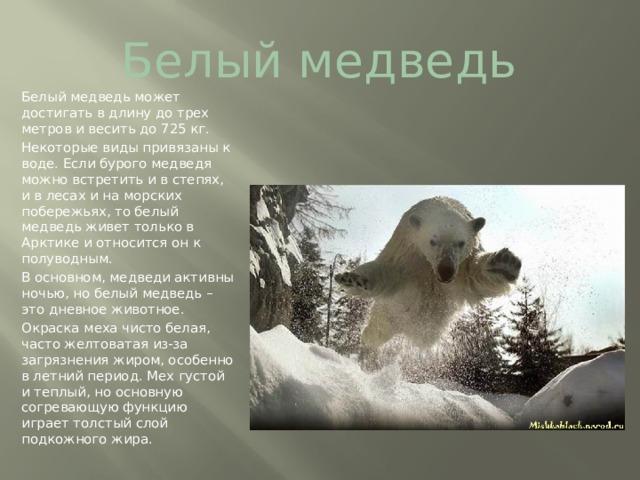 Белый медведь Белый медведь может достигать в длину до трех метров и весить до 725 кг. Некоторые виды привязаны к воде. Если бурого медведя можно встретить и в степях, и в лесах и на морских побережьях, то белый медведь живет только в Арктике и относится он к полуводным. В основном, медведи активны ночью, но белый медведь – это дневное животное. Окраска меха чисто белая, часто желтоватая из-за загрязнения жиром, особенно в летний период. Мех густой и теплый, но основную согревающую функцию играет толстый слой подкожного жира.