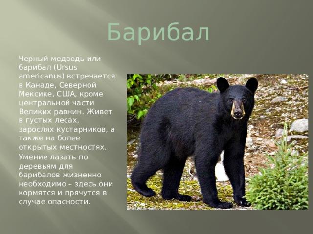 Барибал Черный медведь или барибал (Ursus americanus)встречается в Канаде, Северной Мексике, США, кроме центральной части Великих равнин. Живет в густых лесах, зарослях кустарников, а также на более открытых местностях. Умение лазать по деревьям для барибалов жизненно необходимо – здесь они кормятся и прячутся в случае опасности.