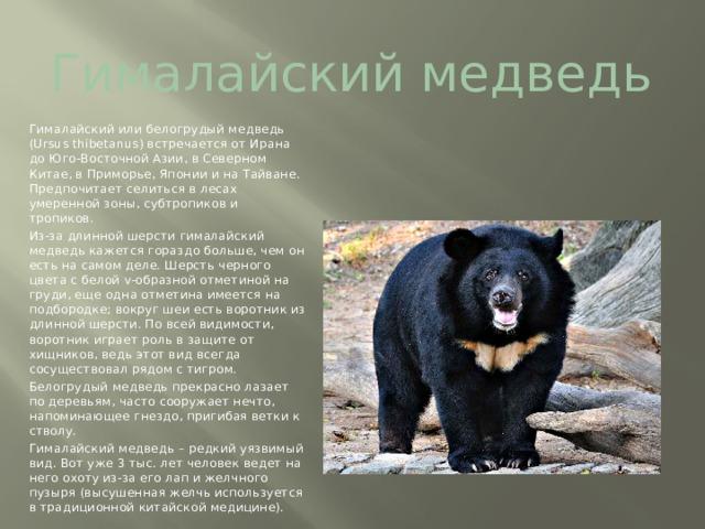 Гималайский медведь Гималайский или белогрудый медведь (Ursusthibetanus) встречается от Ирана до Юго-Восточной Азии, в Северном Китае, в Приморье, Японии и на Тайване. Предпочитает селиться в лесах умеренной зоны, субтропиков и тропиков. Из-за длинной шерсти гималайский медведь кажется гораздо больше, чем он есть на самом деле. Шерсть черного цвета с белой v-образной отметиной на груди, еще одна отметина имеется на подбородке; вокруг шеи есть воротник из длинной шерсти. По всей видимости, воротник играет роль в защите от хищников, ведь этот вид всегда сосуществовал рядом с тигром. Белогрудый медведь прекрасно лазает по деревьям, часто сооружает нечто, напоминающее гнездо, пригибая ветки к стволу. Гималайский медведь – редкий уязвимый вид. Вот уже 3 тыс. лет человек ведет на него охоту из-за его лап и желчного пузыря (высушенная желчь используется в традиционной китайской медицине).