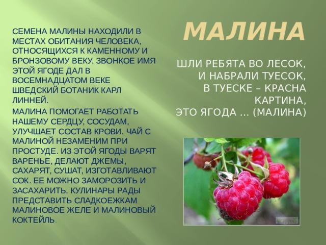 МАЛИНА Семена малины находили в местах обитания человека, относящихся к каменному и бронзовому веку. Звонкое имя этой ягоде дал в восемнадцатом веке шведский ботаник Карл Линней. Малина помогает работать нашему сердцу, сосудам, улучшает состав крови. Чай с малиной незаменим при простуде. Из этой ягоды варят варенье, делают джемы, сахарят, сушат, изготавливают сок. Ее можно заморозить и засахарить. Кулинары рады представить сладкоежкам малиновое желе и малиновый коктейль . Шли ребята во лесок,  И набрали туесок,  В туеске – красна картина,  Это ягода … (Малина)
