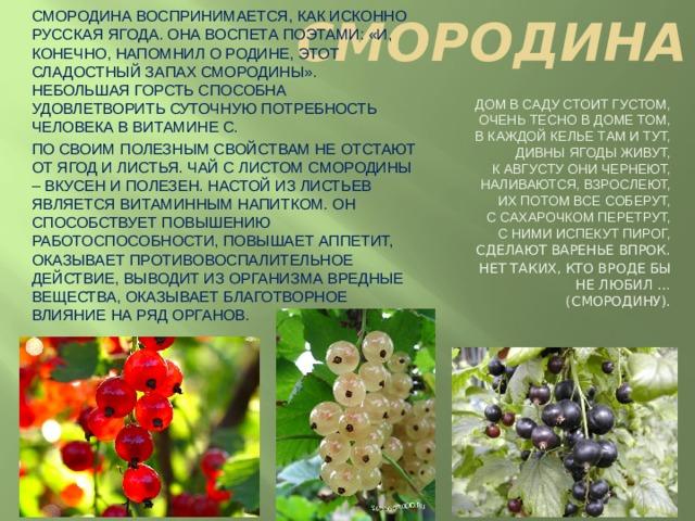 СМОРОДИНА Смородина воспринимается, как исконно русская ягода. Она воспета поэтами: «и, конечно, напомнил о родине, этот сладостный запах смородины». Небольшая горсть способна удовлетворить суточную потребность человека в витамине С. По своим полезным свойствам не отстают от ягод и листья. Чай с листом смородины – вкусен и полезен. Настой из листьев является витаминным напитком. Он способствует повышению работоспособности, повышает аппетит, оказывает противовоспалительное действие, выводит из организма вредные вещества, оказывает благотворное влияние на ряд органов. Дом в саду стоит густом,  Очень тесно в доме том,  В каждой келье там и тут,  Дивны ягоды живут,  К августу они чернеют,  Наливаются, взрослеют,  Их потом все соберут,  С сахарочком перетрут,  С ними испекут пирог,  Сделают варенье впрок. Нет таких, кто вроде бы  Не любил … (смородину).