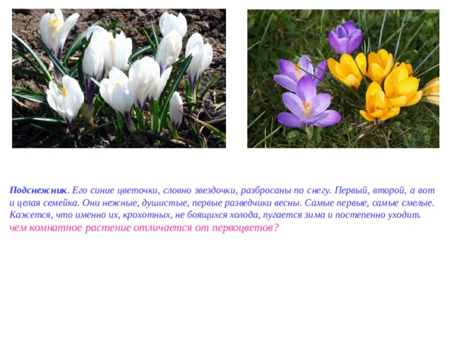 Подснежник . Его синие цветочки, словно звездочки, разбросаны по снегу. Первый, второй, а вот и целая семейка. Они нежные, душистые, первые разведчики весны. Самые первые, самые смелые. Кажется, что именно их, крохотных, не боящихся холода, пугается зима и постепенно уходит. чем комнатное растение отличается от первоцветов?