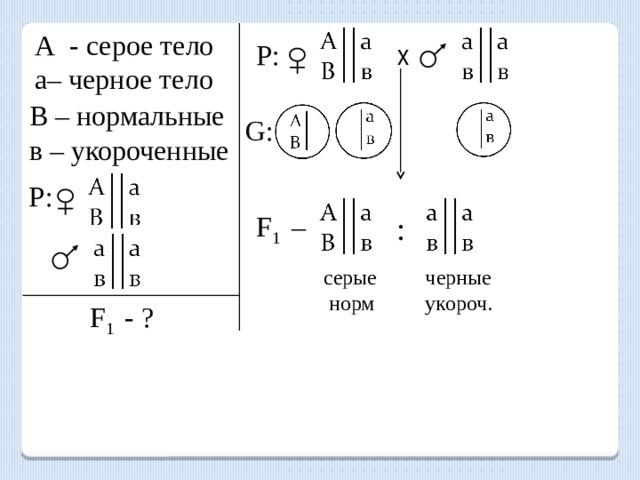 А - серое тело а– черное тело х Р: В – нормальные в – укороченные G: Р: F 1 – : серые черные  норм укороч. F 1 - ?