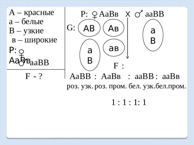 А – красные Р: АаВв Х   ааВВ а – белые АВ аВ Ав G: В – узкие в – широкие аВ ав P: АаВв  ааВВ F  : F  - ? АаВВ : АаВв : ааВВ : ааВв роз. узк. роз. пром. бел. узк. бел.пром. 1 : 1 : 1: 1