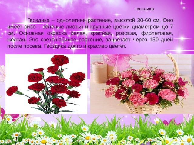 гвоздика   .    Гвоздика – однолетнее растение, высотой 30-60 см, Оно имеет сизо – зеленые листья и крупные цветки диаметром до 7 см. Основная окраска белая, красная, розовая, фиолетовая, желтая. Это светолюбивое растение, зацветает через 150 дней после посева. Гвоздика долго и красиво цветет. .