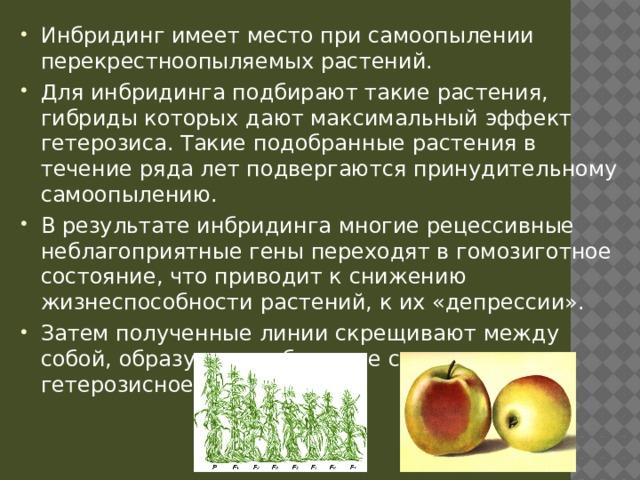 Инбридинг имеет место при самоопылении перекрестноопыляемых растений. Для инбридинга подбирают такие растения, гибриды которых дают максимальный эффект гетерозиса. Такие подобранные растения в течение ряда лет подвергаются принудительному самоопылению. В результате инбридинга многие рецессивные неблагоприятные гены переходят в гомозиготное состояние, что приводит к снижению жизнеспособности растений, к их «депрессии». Затем полученные линии скрещивают между собой, образуются гибридные семена, дающие гетерозисное поколение.