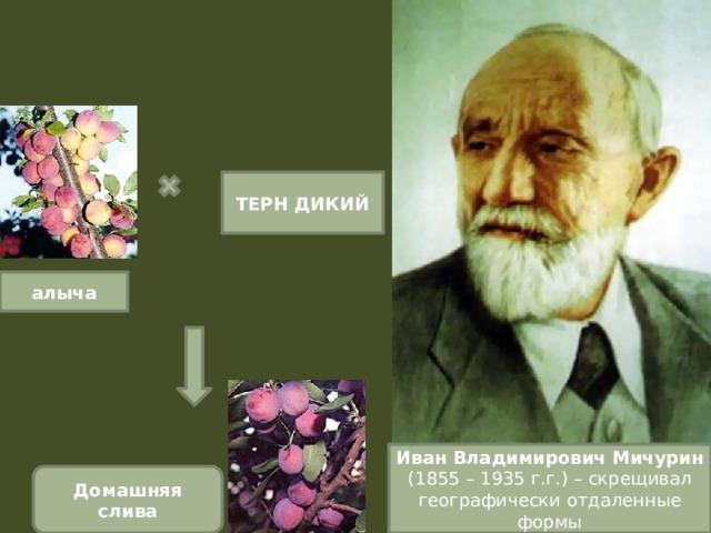 ТЕРН ДИКИЙ алыча Иван Владимирович Мичурин (1855 – 1935 г.г.) – скрещивал географически отдаленные формы Домашняя слива