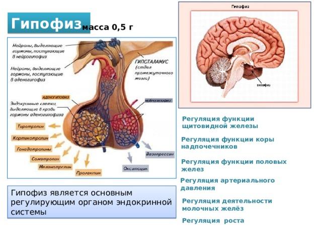 Гипофиз масса 0,5 г Регуляция функции щитовидной железы Регуляция функции коры надпочечников Регуляция функции половых желез Регуляция артериального давления Гипофиз является основным регулирующим органом эндокринной системы Регуляция деятельности молочных желёз Регуляция роста
