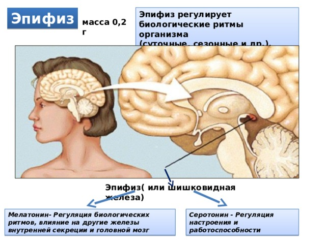 Эпифиз Эпифиз регулирует биологические ритмы организма (суточные, сезонные и др.). масса 0,2 г Эпифиз( или шишковидная железа) Мелатонин- Регуляция биологических ритмов, влияние на другие железы внутренней секреции и головной мозг Серотонин - Регуляция настроения и работоспособности