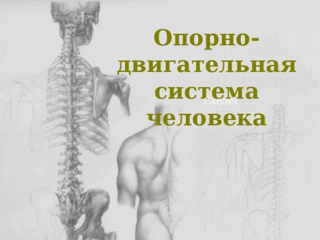 Опорно-двигательная система человека Скелет