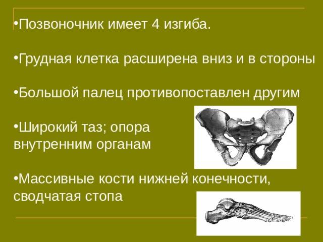 Позвоночник имеет 4 изгиба.  Грудная клетка расширена вниз и в стороны  Большой палец противопоставлен другим  Широкий таз; опора внутренним органам Массивные кости нижней конечности,