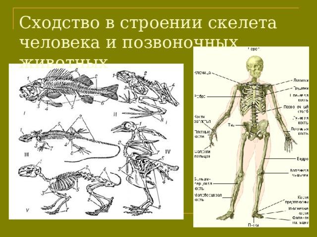 Сходство в строении скелета человека и позвоночных животных