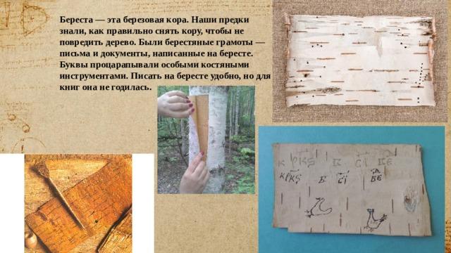 Береста — эта березовая кора. Наши предки знали, как правильно снять кору, чтобы не повредить дерево. Были берестяные грамоты — письма и документы, написанные на бересте. Буквы процарапывали особыми костяными инструментами. Писать на бересте удобно, но для книг она не годилась.