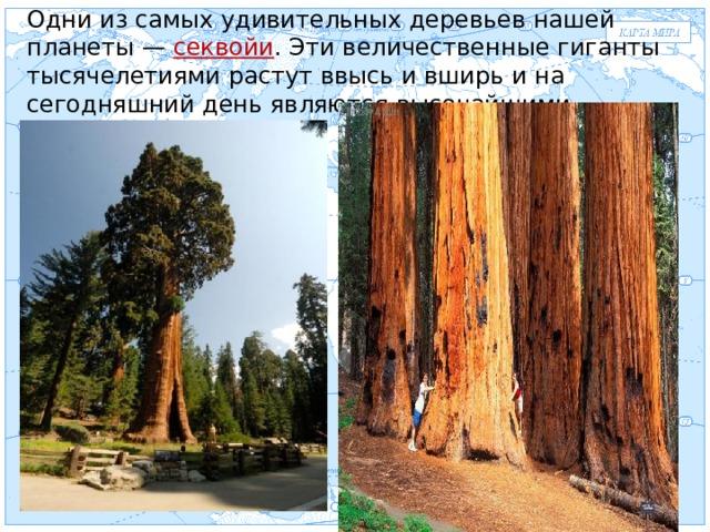 Одни из самых удивительных деревьев нашей планеты — секвойи . Эти величественные гиганты тысячелетиями растут ввысь и вширь и на сегодняшний день являются высочайшими растениями мира Евразия .