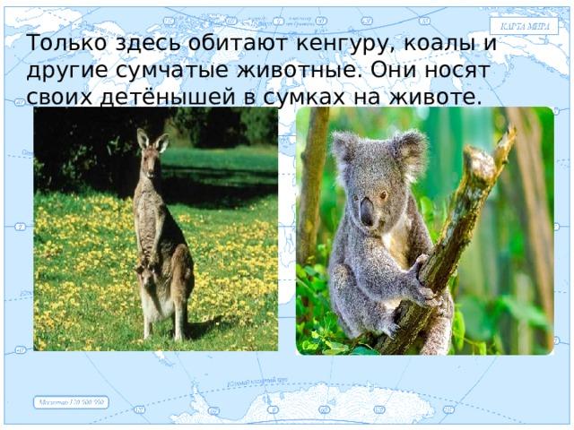 Евразия Только здесь обитают кенгуру, коалы и другие сумчатые животные. Они носят своих детёнышей в сумках на животе. .