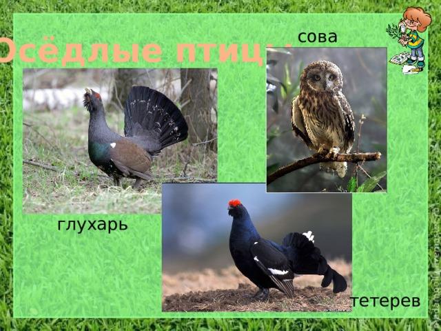 сова Осёдлые птицы глухарь тетерев