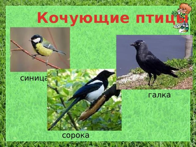 Кочующие птицы синица галка сорока