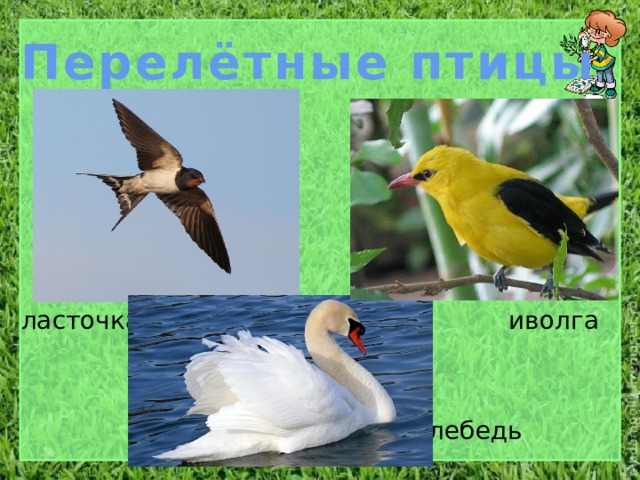 Перелётные птицы ласточка иволга лебедь
