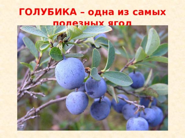 ГОЛУБИКА – одна из самых полезных ягод