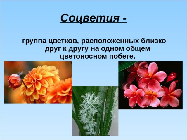 Соцветия - группа цветков, расположенных близко друг к другу на одном общем цветоносном побеге.