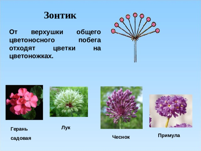 Зонтик От верхушки общего цветоносного побега отходят цветки на цветоножках.  Лук Герань садовая Примула Чеснок
