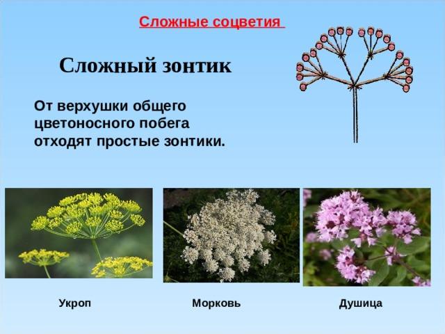 Сложные соцветия Сложный зонтик От верхушки общего цветоносного побега отходят простые зонтики. Морковь Укроп Душица