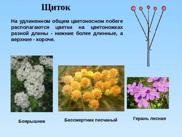 Щиток На удлиненном общем цветоносном побеге располагаются цветки на цветоножках разной длины - нижние более длинные, а верхние - короче.  Герань лесная Бессмертник песчаный Боярышник