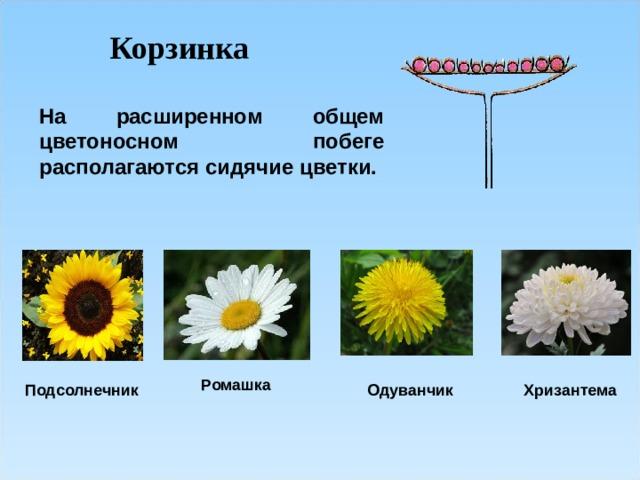 Корзинка На расширенном общем цветоносном побеге располагаются сидячие цветки.  Ромашка Подсолнечник Одуванчик Хризантема