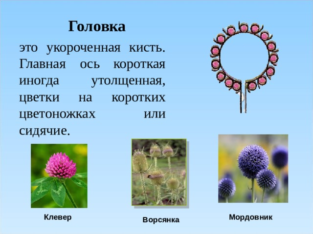Головка это укороченная кисть. Главная ось короткая иногда утолщенная, цветки на коротких цветоножках или сидячие. Клевер Мордовник Ворсянка