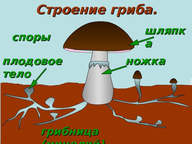 Строение гриба. шляпка споры плодовое тело ножка грибница (мицелий)