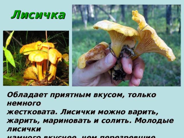 Лисичка Обладает приятным вкусом, только немного жестковата. Лисички можно варить, жарить, мариновать и солить. Молодые лисички намного вкуснее, чем перезревшие. Растет в смешанных лесах.