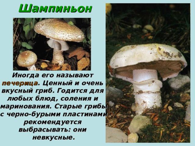 Шампиньон Иногда его называют печерица . Ценный и очень вкусный гриб. Годится для любых блюд, соления и маринования. Старые грибы  с черно-бурыми пластинами рекомендуется выбрасывать: они невкусные.