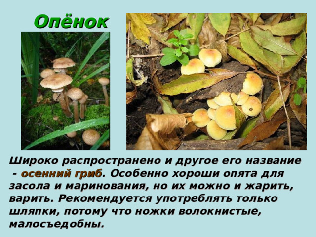 Опёнок Широко распространено и другое его название  - осенний гриб . Особенно хороши опята для засола и маринования, но их можно и жарить, варить. Рекомендуется употреблять только шляпки, потому что ножки волокнистые, малосъедобны.