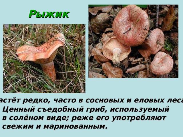 Рыжик Растёт редко, часто в сосновых и еловых лесах. Ценный съедобный гриб, используемый в солёном виде; реже его употребляют свежим и маринованным.