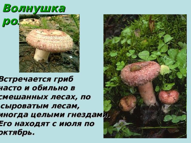 Волнушка  розовая Встречается гриб часто и обильно в смешанных лесах, по  сыроватым лесам, иногда целыми гнездами. Его находят с июля по октябрь.