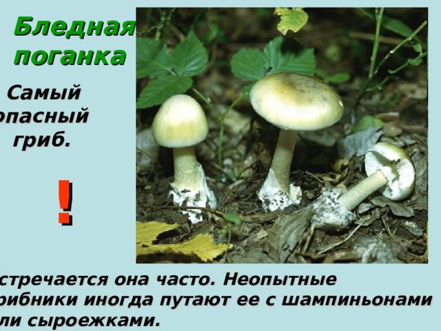 Бледная поганка  Самый  опасный  гриб.      Встречается она часто. Неопытные грибники иногда путают ее с шампиньонами или сыроежками. !