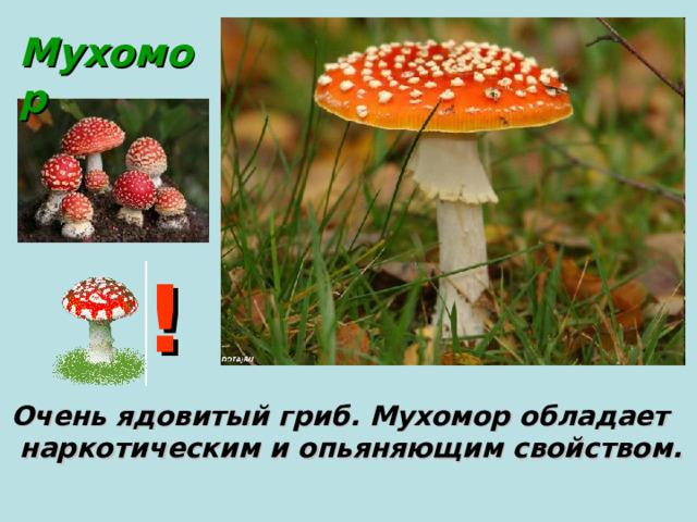 Мухомор ! Очень ядовитый гриб. Мухомор обладает  наркотическим и опьяняющим свойством.