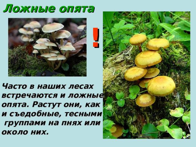 Ложные опята ! Часто в наших лесах встречаются и ложные опята. Растут они, как и съедобные, тесными  группами на пнях или около них.