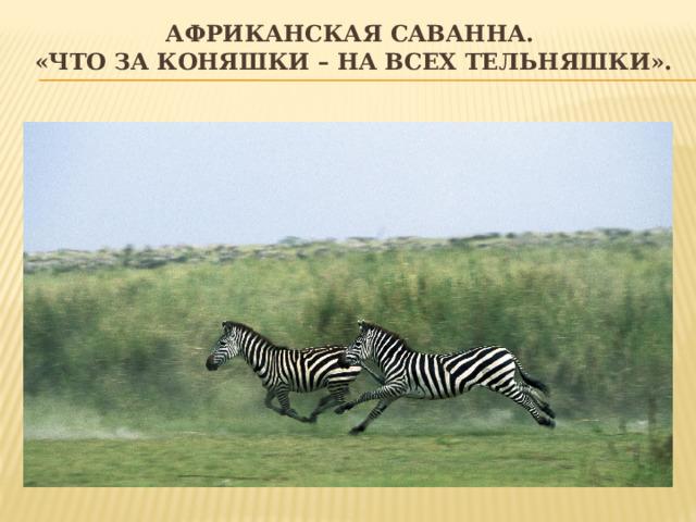 Африканская саванна.  «Что за коняшки – на всех тельняшки».