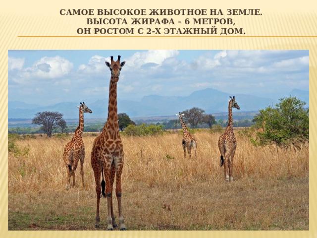 Самое высокое животное на Земле.  Высота жирафа – 6 метров,  он ростом с 2-х этажный дом.