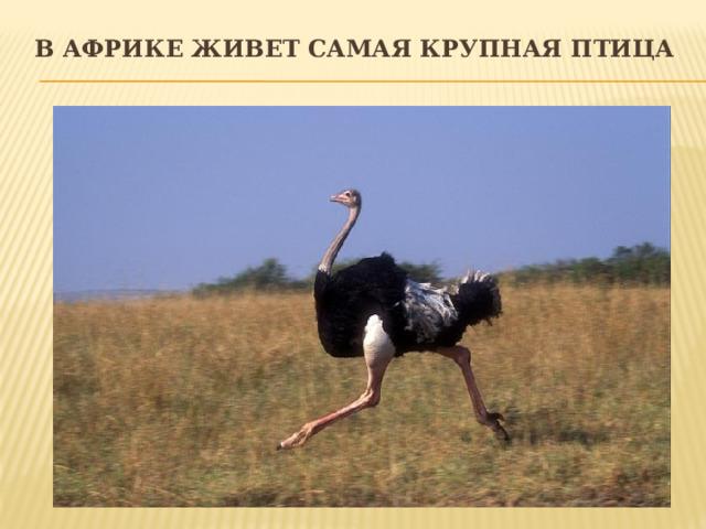 В Африке живет самая крупная птица