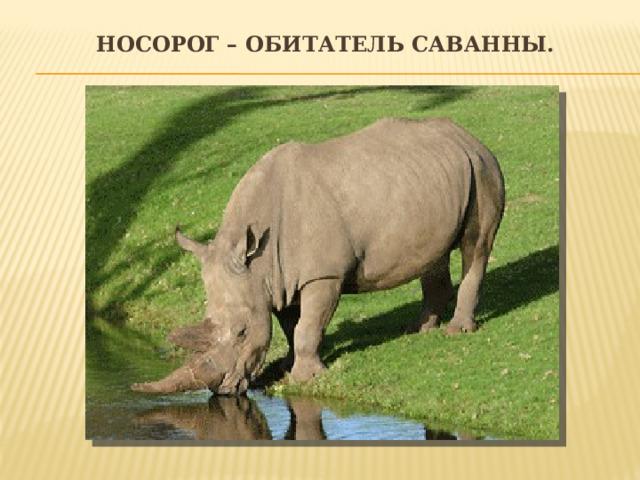 Носорог – обитатель саванны.