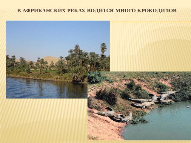 В африканских реках водится много крокодилов
