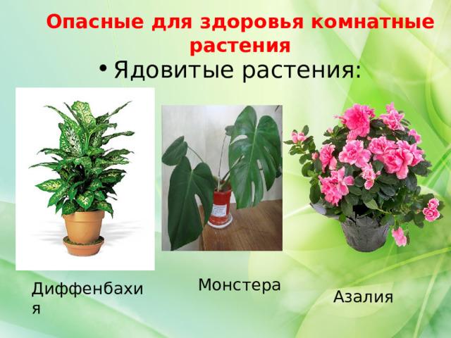 Опасные для здоровья комнатные растения Ядовитые растения: Монстера Диффенбахия Азалия