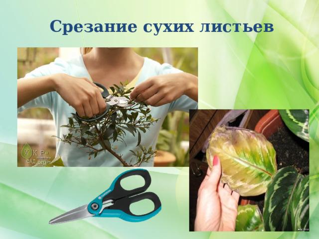 Срезание сухих листьев