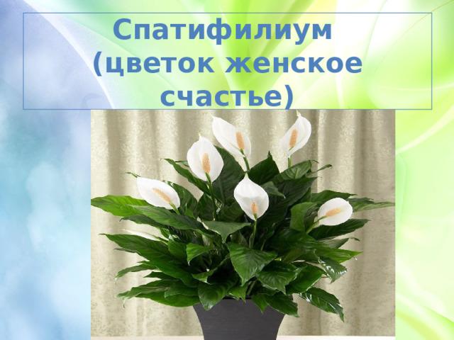Спатифилиум  (цветок женское счастье)