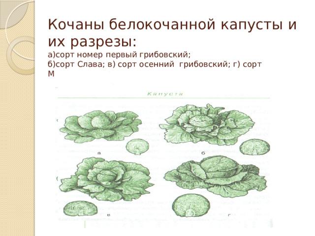 Кочаны белокочанной капусты и их разрезы:  а)сорт номер первый грибовский;  б)сорт Слава; в) сорт осенний грибовский; г) сорт Московская поздняя.