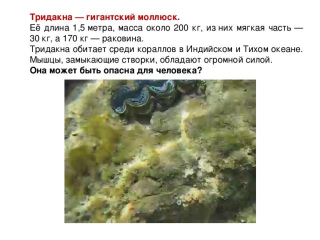 Тридакна— гигантский моллюск.  Её длина 1,5метра, масса около 200 кг, изних мягкая часть— 30 кг, а170 кг— раковина. Тридакна обитает среди кораллов вИндийском иТихом океане. Мышцы, замыкающие створки, обладают огромной силой. Она может быть опасна для человека?